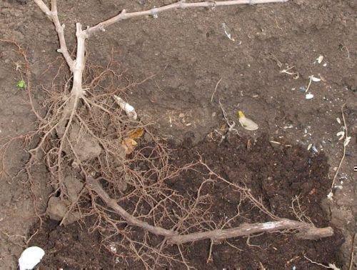 Пересадка куста винограда