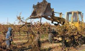 Правила пересадки взрослого винограда