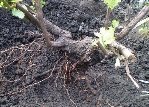 Пересадка винограда без земли