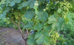 Когда и как рассаживать виноград весной