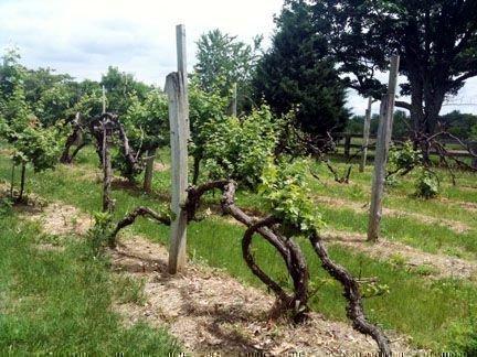 Пересаженный виноград