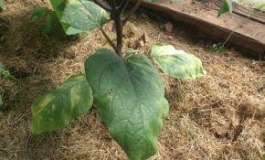 Болезни баклажанов: почему желтеют и вянут листья