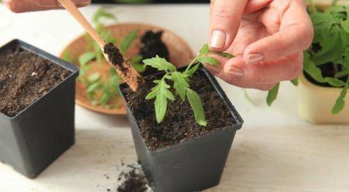 Пикирование ростков
