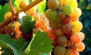 Описание сорта винограда Пино Гриджио