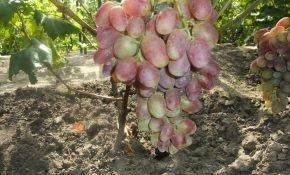 Все что необходимо знать о сорте винограда Писанка