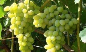 Сорт винограда Плевен – дитя солнца и ума