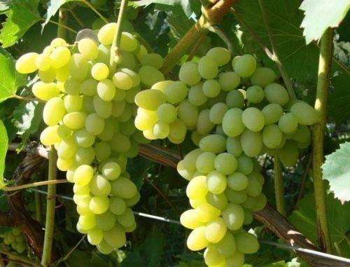 Винограда плевен