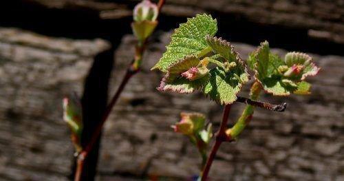 Почки винограда