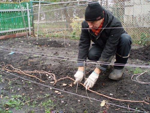 Подготовка к укрытию винограда на зиму
