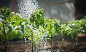 Чем и как подкормить помидоры (томаты) после высадки в грунт