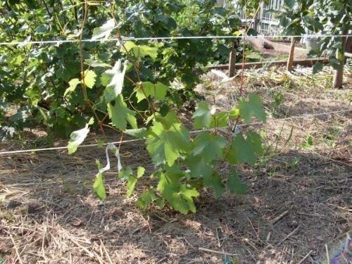 Виноград в первый год