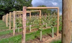 Как подвязать виноград к шпалере