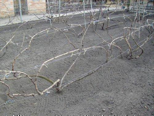 Подвязывание винограда к шпалере