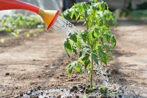 Рекомендуется обильно поливать помидоры