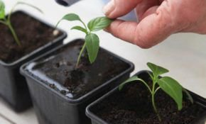Правила полива баклажанов для активного роста и обильного урожая