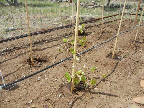 Полив винограда Калина