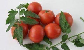 Помидоры Дубок – чрезвычайно плодородный и устойчивый к болезням сорт