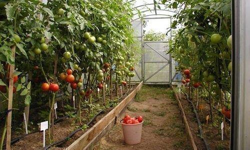 Выращивание помидор в теплицах из поликарбоната