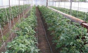 Как правильно высадить рассаду томаты в теплице из поликарбоната?
