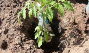 Что необходимо класть в лунку при посадке помидор?