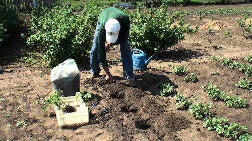 Посадка томатов в лунки