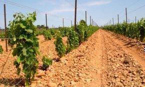Осенние работы с виноградом