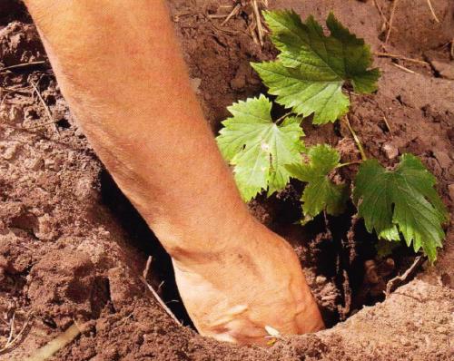 Посадка винограда на корни