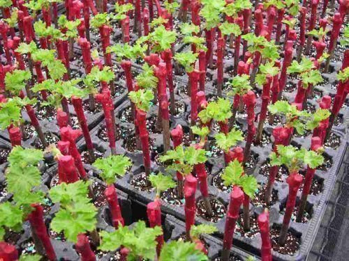 Посадка винограда саженцами