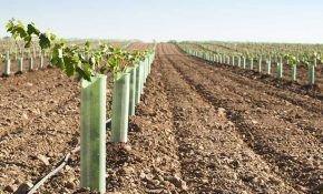 Как весной произвести высадку винограда в грунт
