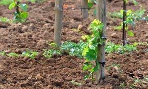 Особенности выращивания винограда весной: метод посадки черенков в грунт