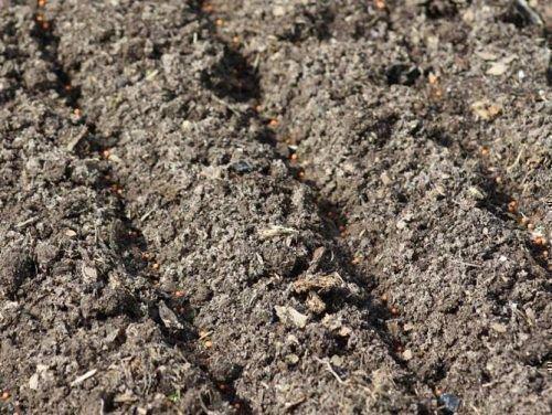Посев в грунт