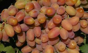 Потомок Ризамата - гибрид винограда проверенный временем