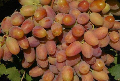 Виноград Потомок Ризамата