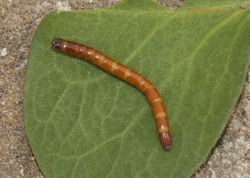 Проволочный червь