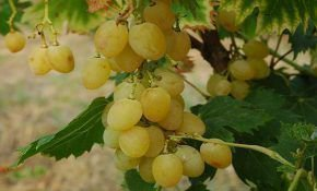 Достоинства винограда сорта Прозрачный