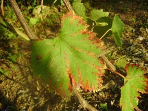 Виноград пораженный краснухой