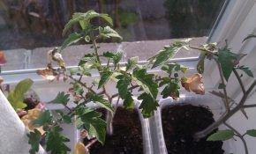 Опадают листья у рассады