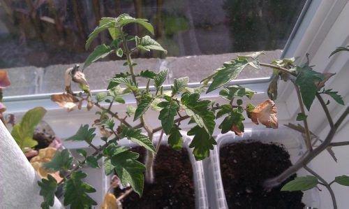 Рассада томатов сбрасывает листья