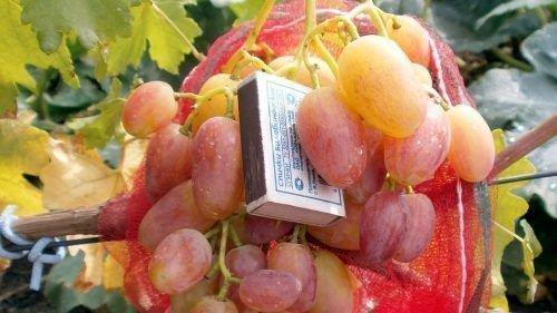 Ягода винограда Юлиан
