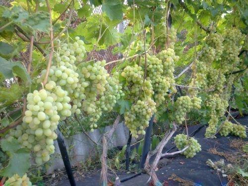 Куст винограда Валек
