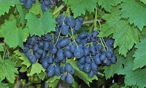 Характеристика винограда Ришелье
