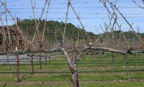 Обрезка винограда, формирование рукавов – основные принципы без сложных деталей