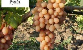Описание сорта винограда Румба