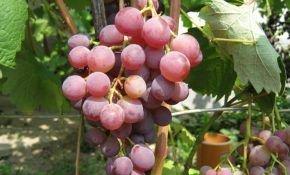 Русский ранний сорт винограда