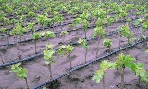 Как сажают виноград осенью