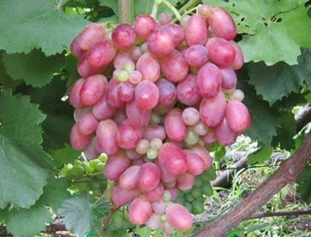 Гроздь винограда Самохвалович