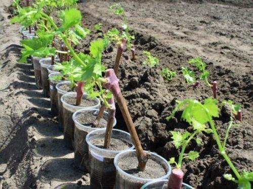 Саженцы винограда готовые к посадке
