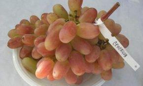 Описание сорта винограда Сенсация – преимущества и недостатки