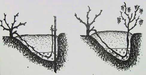 Схема отводки винограда