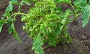 Почему скручиваются верхушечные листья у помидоров?